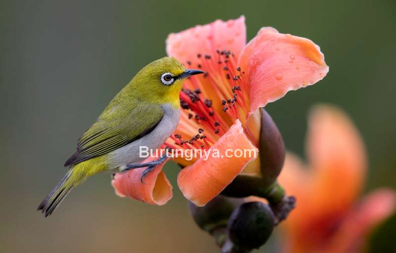 Jenis Burung Pleci Masuk Daftar Burung Dilindungi (goodfon.com)