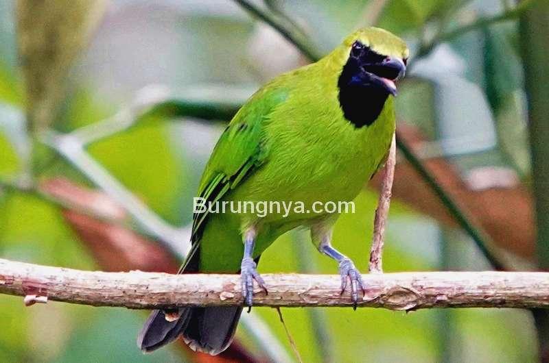 Jenis Cucak Ijo yang Masuk Daftar Burung Dilindungi (birdseye.photo)