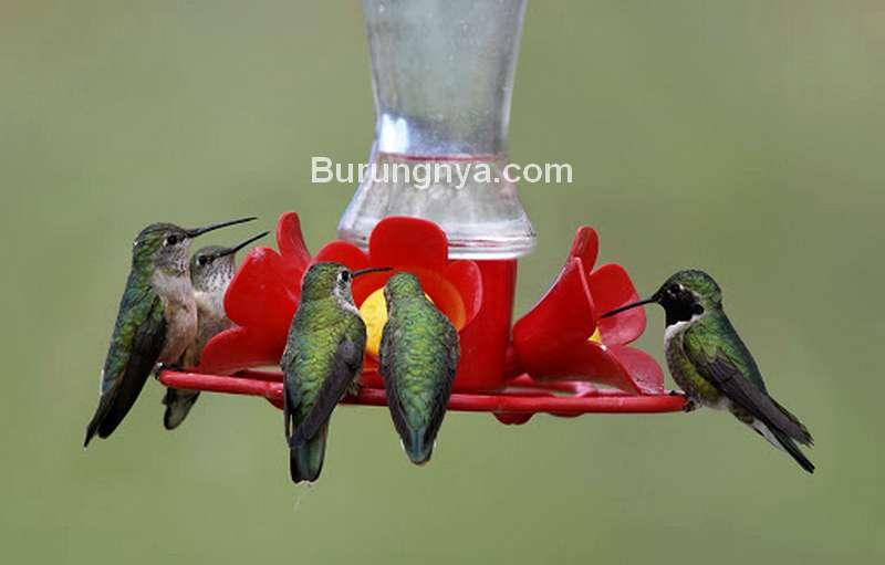 Jenis Madu Kolibri yang Masuk Daftar Burung Dilindungi (ramcquade.com)