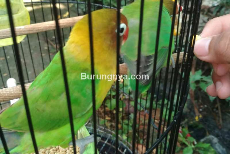 Makanan Burung Lovebird biar Gacor dan Tips Perawatan (pamankicau.com)