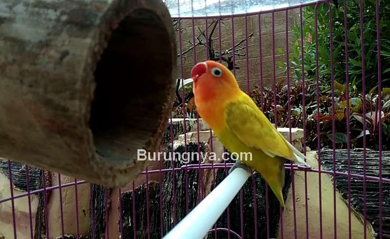 Manfaat Setingan Glodok Bambu untuk Lovebird Single Fighter (youtube.com)