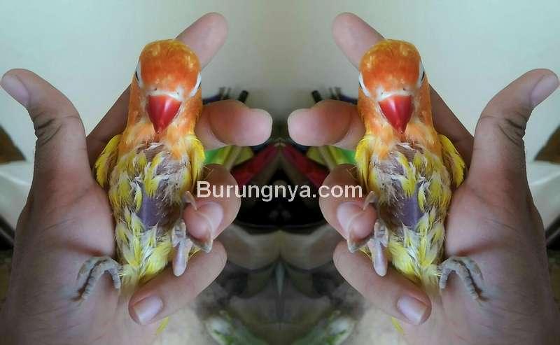 Penyebab Lovebird Nyilet dan Cara Mengobati (lovebirdseo.net)