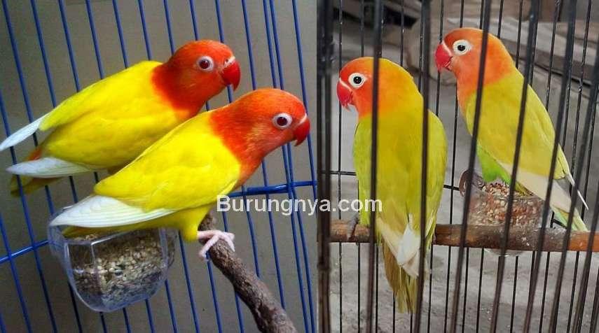 Perbedaan Lovebird Lutino dan Lovebird Pastel Kuning Paskun (tokopedia.com)