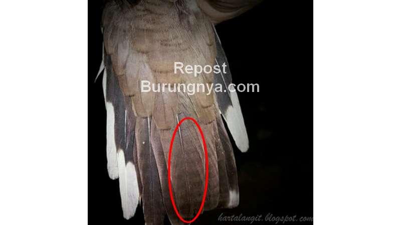 Perkutut Korowelang (hartalangit.blogspot.com)
