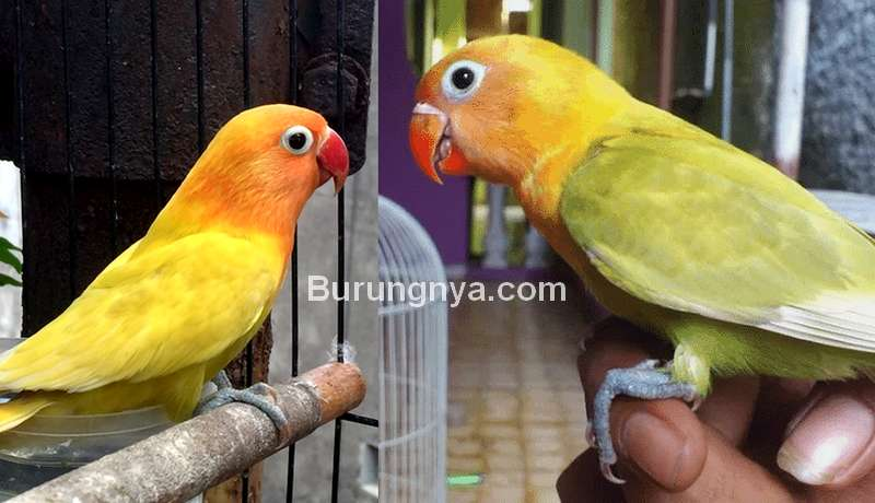 Setingan Lovebird Paud Rajin Ngekek di Rumah dan Lomba (kaskus.co.id)