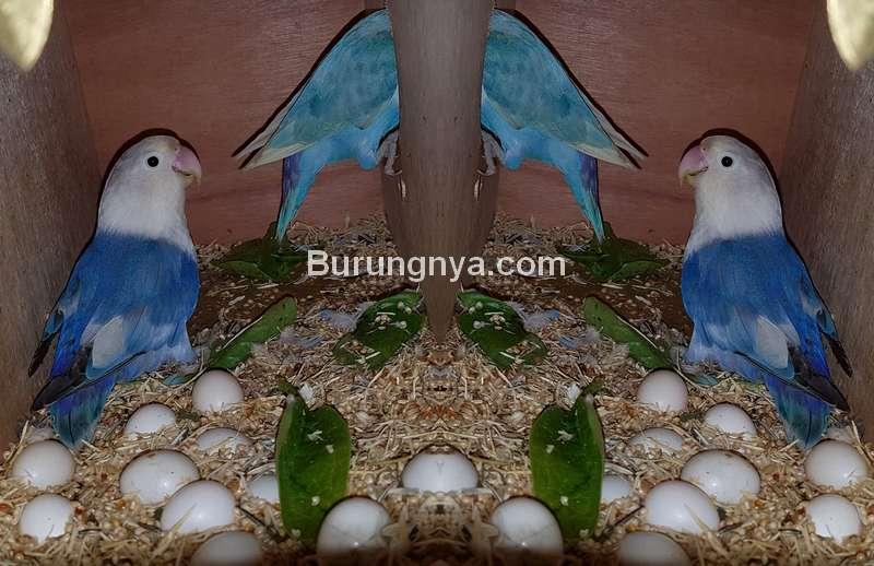 Tips Supaya Telur Lovebird Menetas Semua (pets4homes.co.uk)