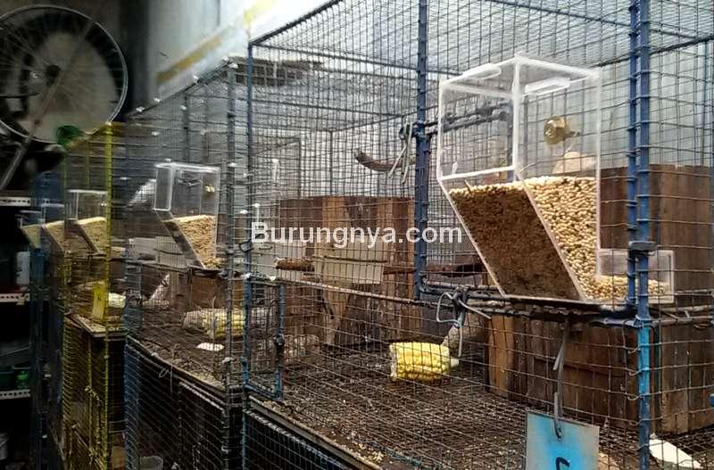 Wadah Pakan Burung Otomatis Anti Tumpah (melolohlovebird.blogspot.com)