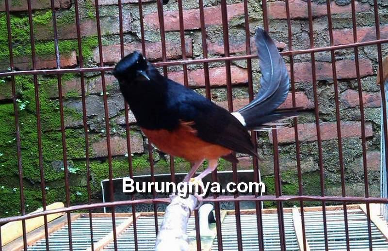 Burung Murai Batu dengan Satu Tangkringan (tokopedia.com)