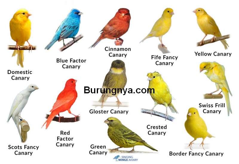 25 Jenis Burung Kenari Berdasarkan Bentuk Warna Dan Suara Burungnya Com