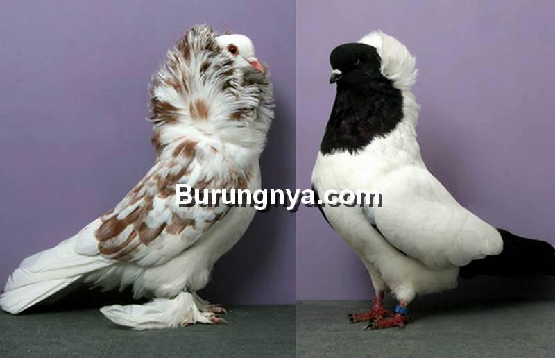 Jenis Burung Merpati Hias (viola.bz)