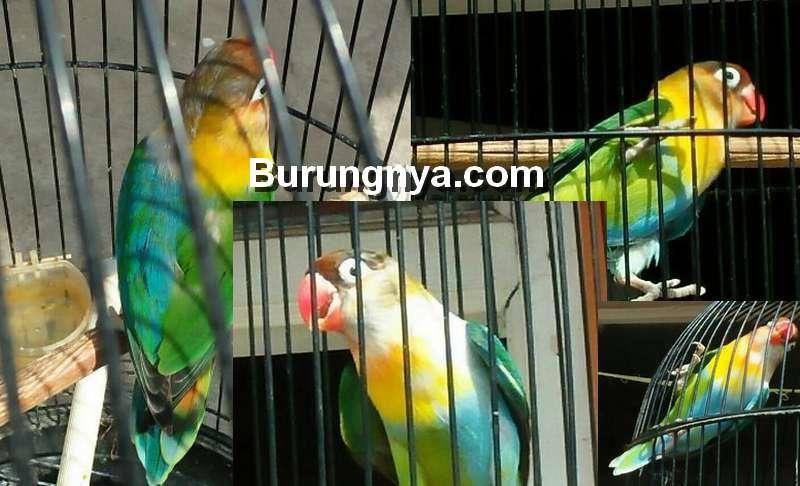 Jenis Lovebird Unik Halfsider (tokopedia.com)