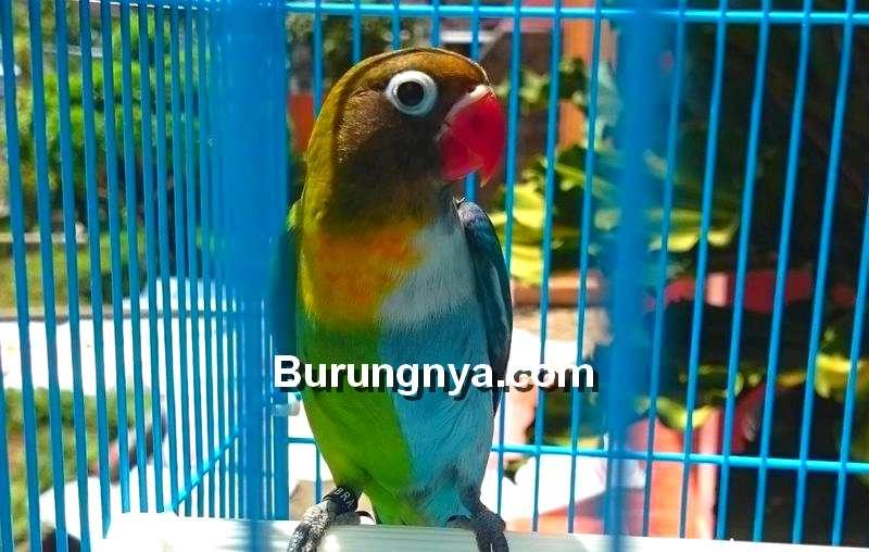 Lovebird Halfsider, Cara Mencetak, Harga (pinterest.com)