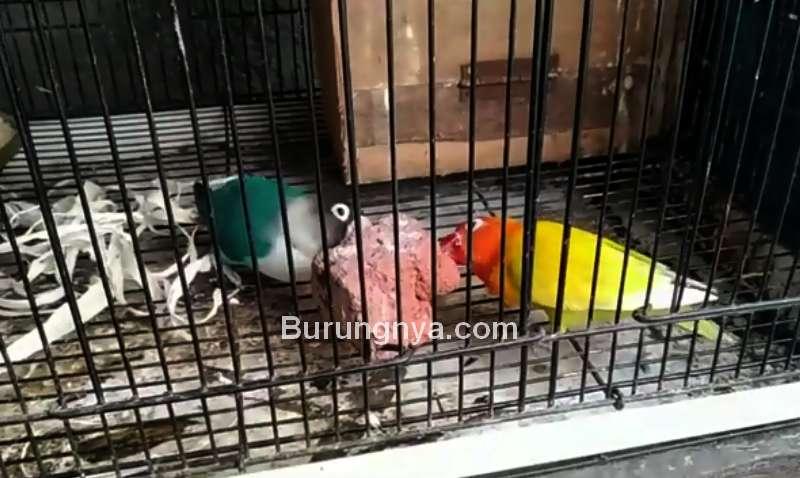 Manfaat Batu Bata Merah untuk Lovebird dan Efeknya (youtube.com)