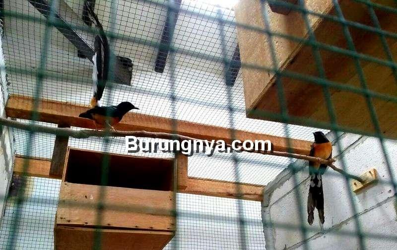 Masalah Ternak Burung Murai Batu (burungnya.com)