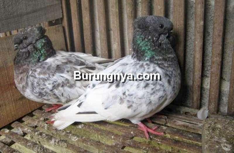 Merpati Brongsong (rojokoyofarm.blogspot.com)