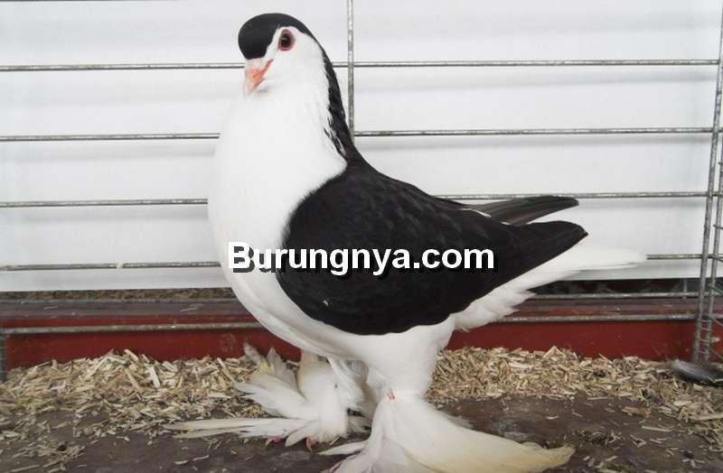 Merpati Lahore (pigeons-fall.blogspot.com)