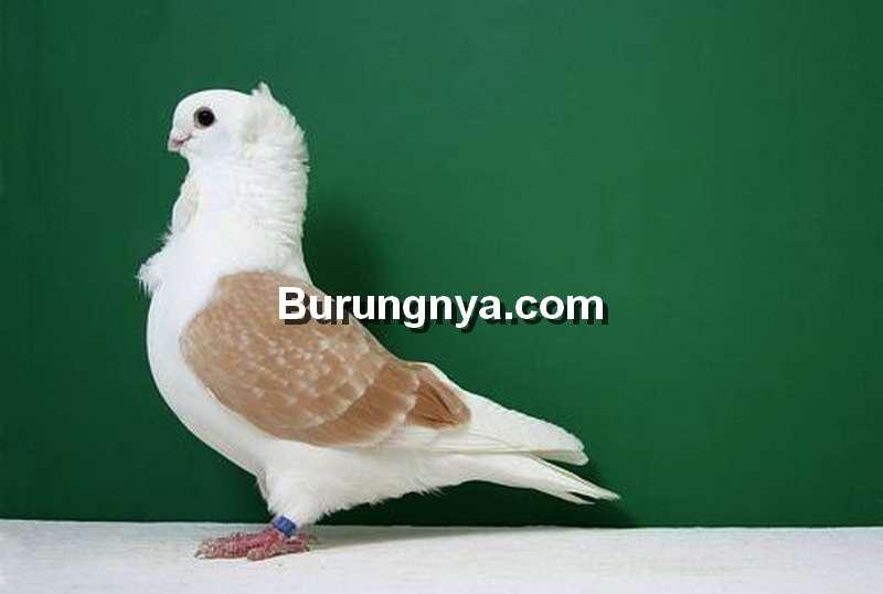 Merpati Nun Pigeon (alchetron.com)