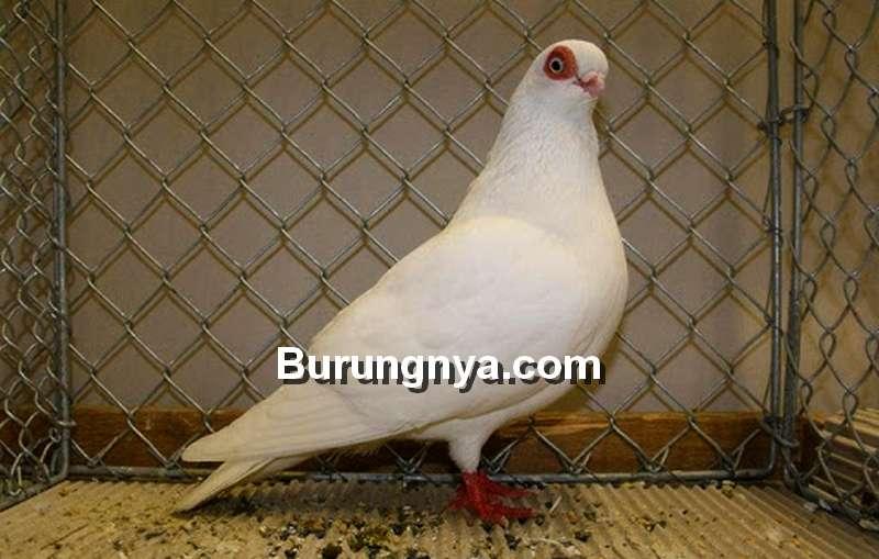 Merpati Wina atau Vienna Tumbler (pigeontype.info)