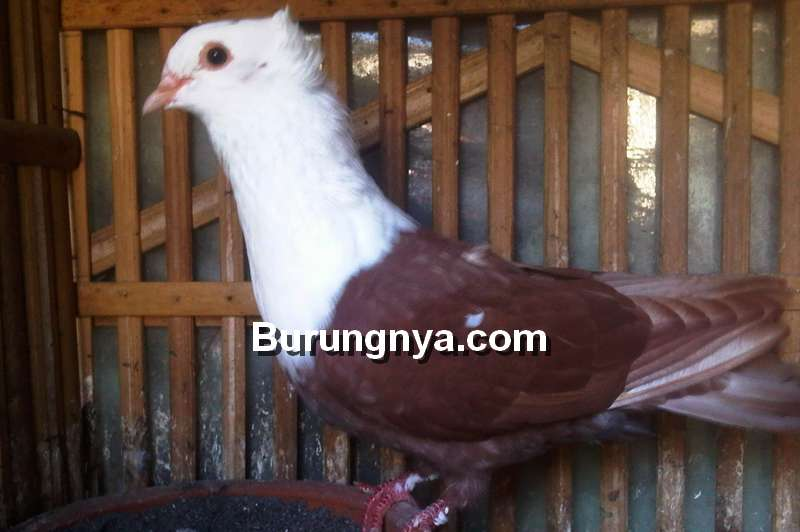 Merpati Wulung (pawirobirdfarm.com)