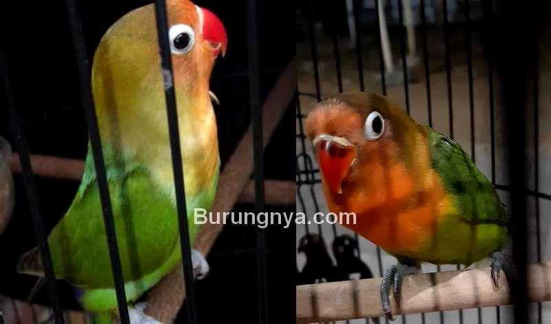 Perbedaan Lovebird Trah dan Lovebird Prospek (instagram.com)