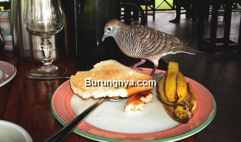 Perkutut Masuk Rumah (burungnya.com)