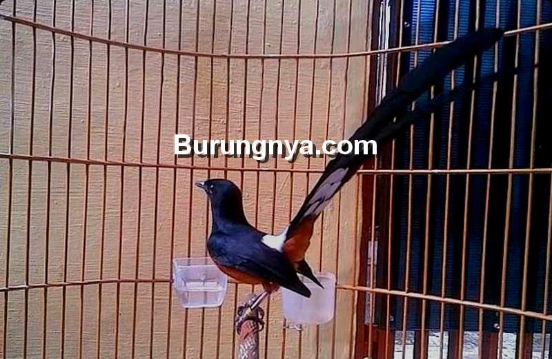 Porsi Pakan Burung Murai Batu untuk Jangkrik dan Kroto (jitunews.com)