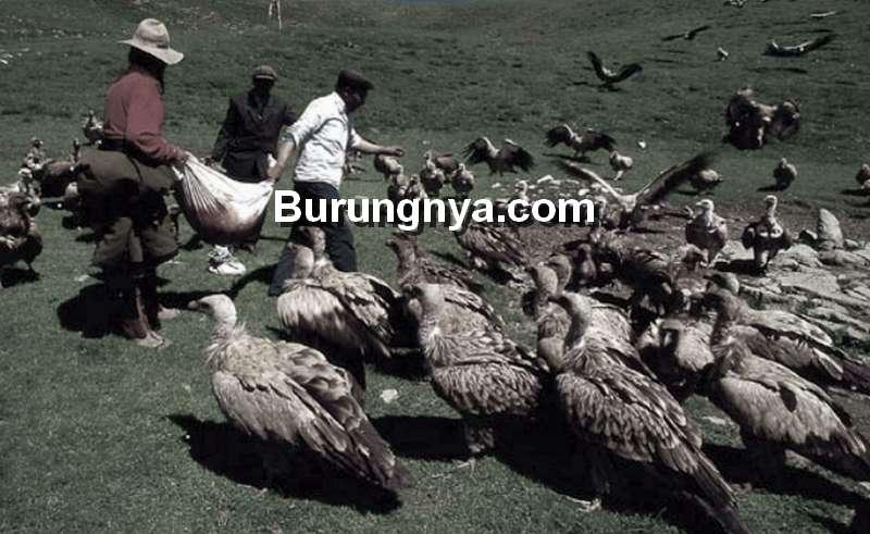 Ritual Pemakaman Langit, Jenazah Dibiarkan Dimakan Burung Nasar (grid.id)