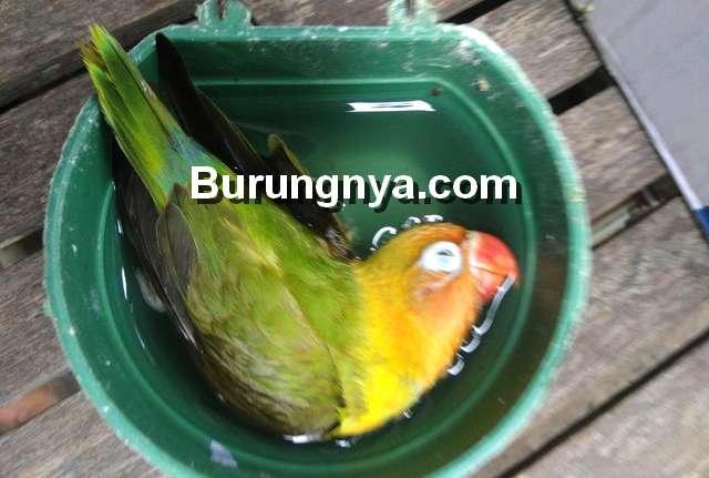 Setingan Lovebird Berbahaya (steemit.com)