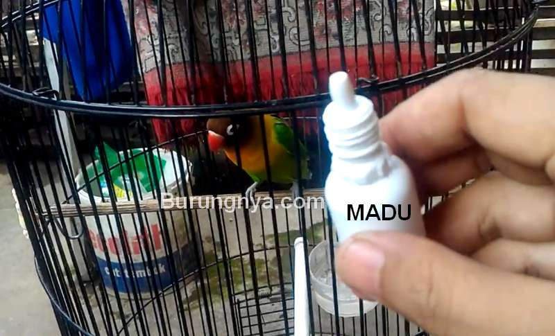 Setingan Lovebird Gacor dengan Setetes Madu dan Mandi Malam (youtube.com)