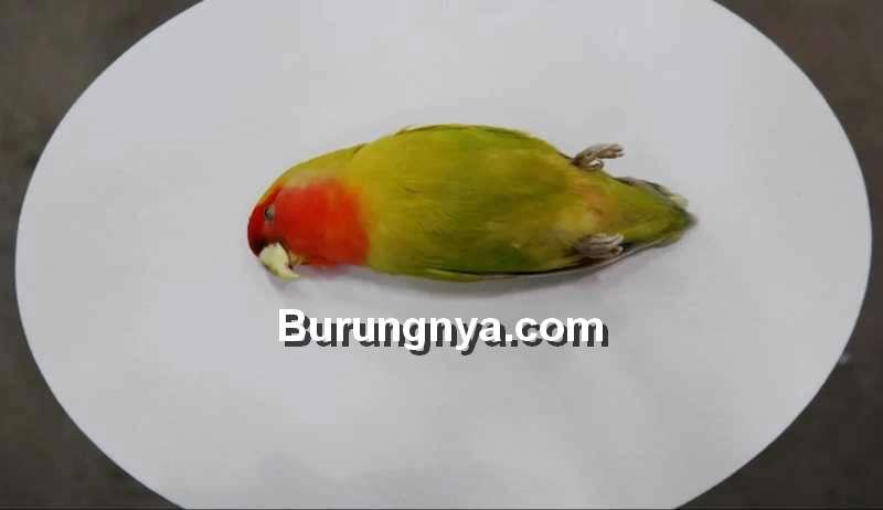Setingan Lovebird Viral tapi Bahaya (burungnya.com)