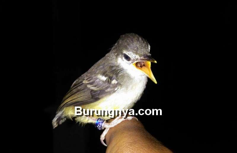 Aplikasi Burung Ciblek untuk Masteran (masterklangenan.blogspot.com)