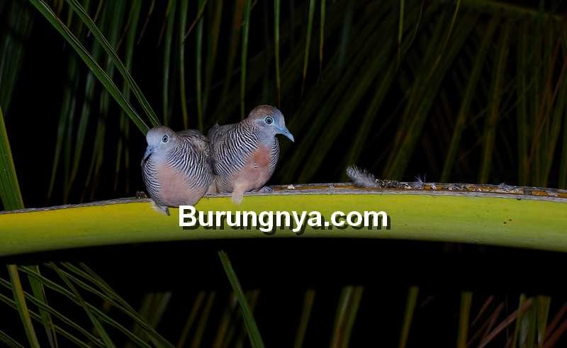 Arti Perkutut Bunyi di Malam Hari (burungnya.com)