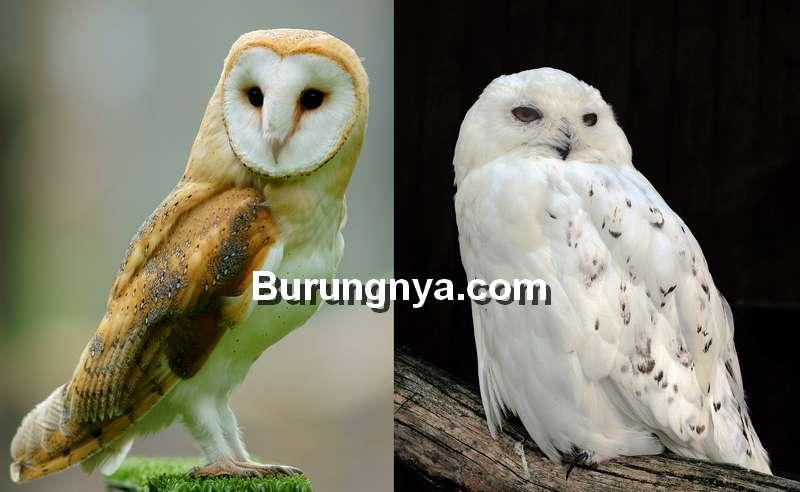 Burung Hantu Putih Indonesia dan Burung Hantu Putih Salju (wikipedia.org)