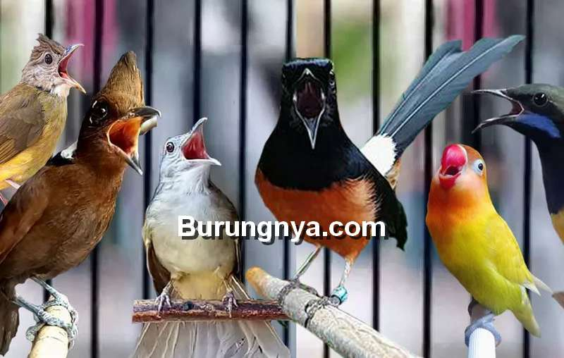 Cara Download Suara Burung MP3 (burungpedia.com)
