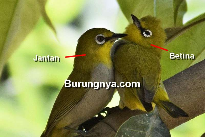 Cara Membedakan Pleci jantan dan betina (birdseye.photo)