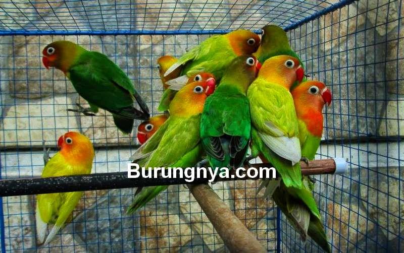 Cara Memilih Lovebird Prospek Ombyokan (burungnya.com)