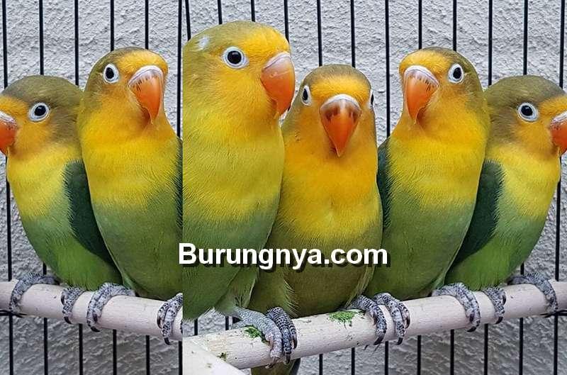 Cara Mencetak Lovebird Australian Yellow Face (instagram.com)
