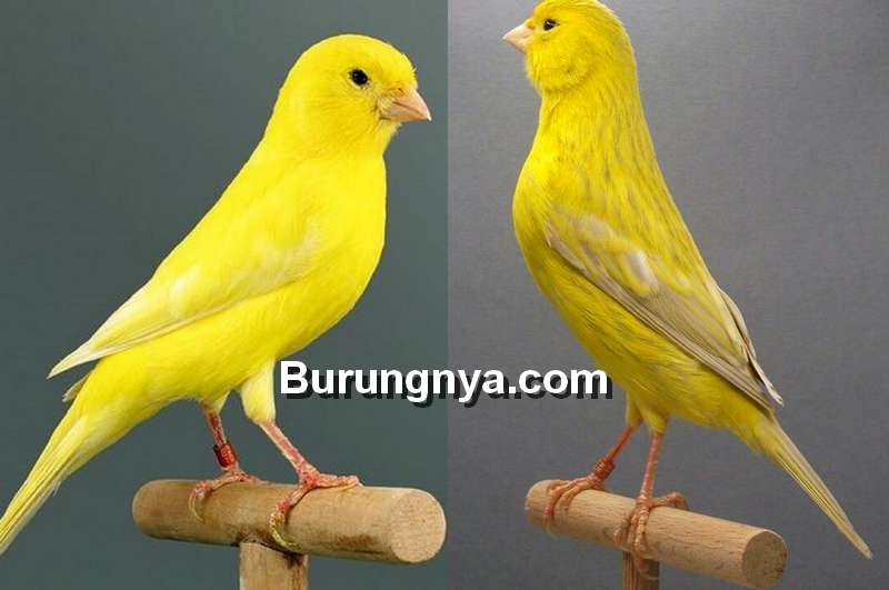 12 Cara Mengetahui Usia Burung Kenari Paling Mudah Dan Akurat Burungnya Com