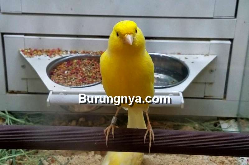 Cara Mengetahui Usia Burung Kenari (youtube.com)