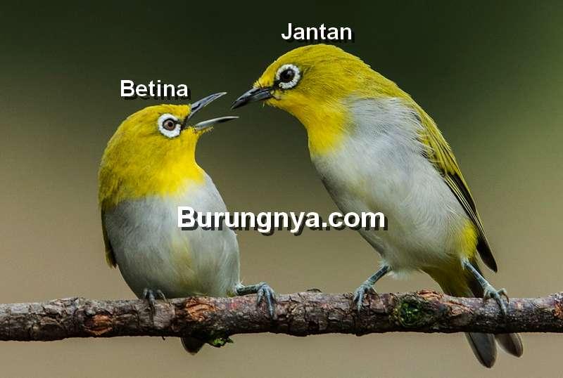 Ciri Pleci Jantan dan Betina (flickr.com)