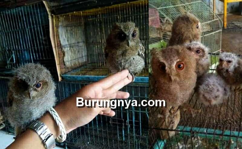 Harga Anak Burung Hantu Murah Rp 100 Ribuan (tokopedia.com)