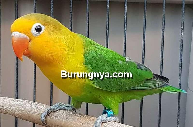 Harga Lovebird Australian Yellow Face AYF (instagram.com)