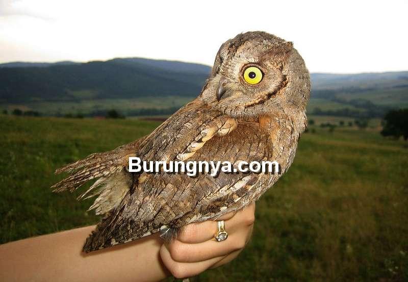 Jenis Burung Hantu Dilindungi dan Tidak Dilindungi (wiktionary.org)