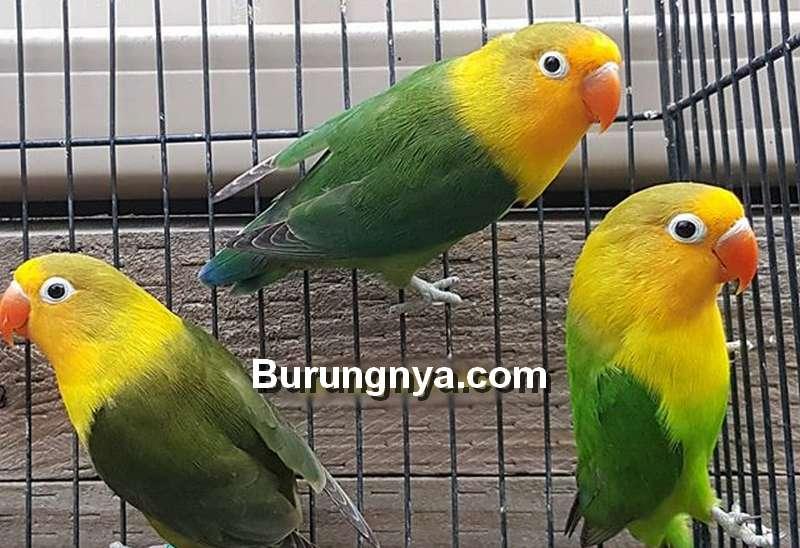 Jenis Lovebird Australian Yellow Face (Instagram.com)