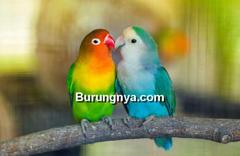 Jenis Lovebird di Seluruh Dunia Kategori Suara dan Warna (chewy.com)