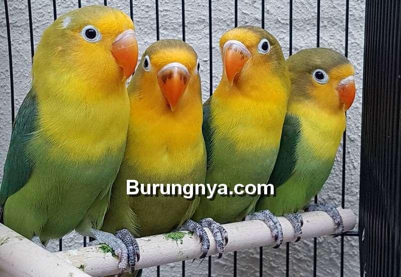 Lovebird Australian Yellow Face (instagram.com)