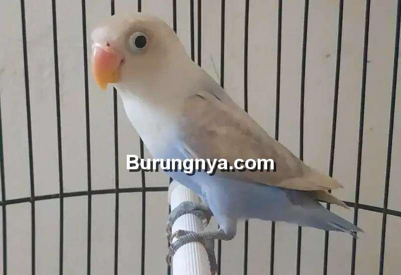 Lovebird Pastel Biru Pasbir (olx.co.id)