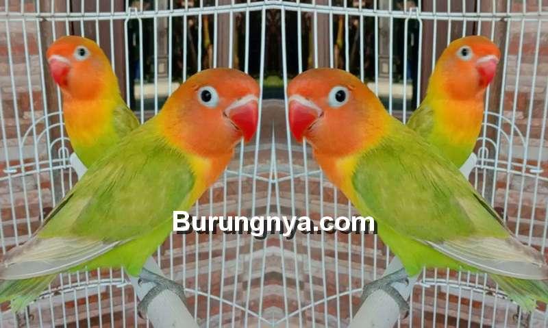 Lovebird Pastel Hijau (olx.co.id)
