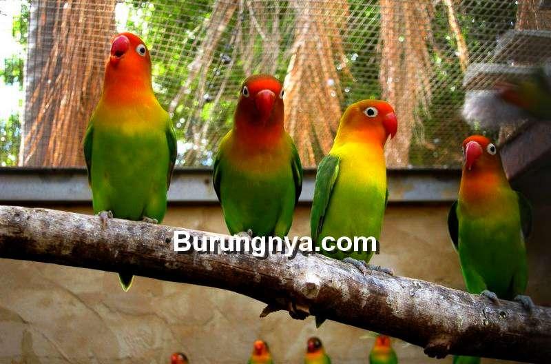 Lovebird Prospek Ombyokan (burungnya.com)