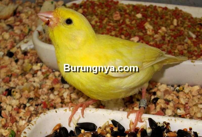 Makanan Burung Kenari (drfoxmag.com)